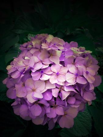 紫陽花_2015-21
