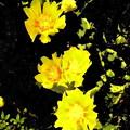 写真: サボテンの花-02a