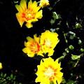 写真: サボテンの花-02b
