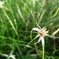 写真: シラサギカヤツリRICOH GX(2) 4183