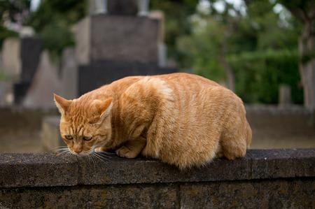 谷中墓地のネコ