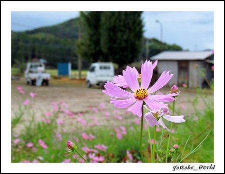軽トラのある風景 ~コスモスの咲く頃~