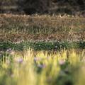 写真: 稲と蓮華