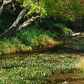 バイカモ咲く光徳沼