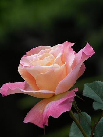 9智光山薔薇