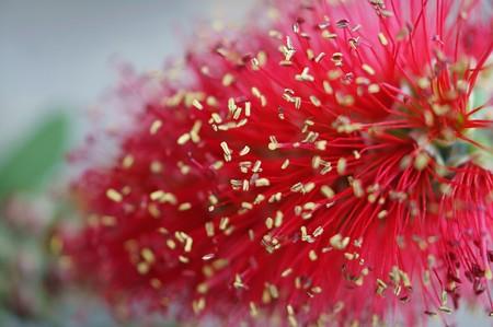 ブラシの木(ブラシノキ)