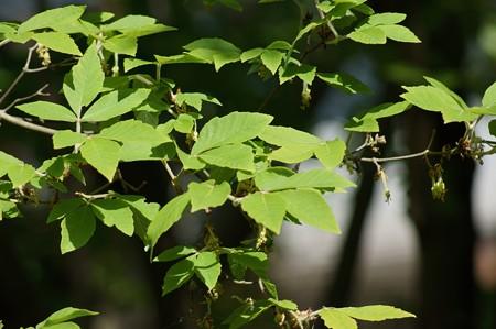 目薬の木(メグスリノキ)