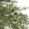 Photos: コメツガ Tsuga diversifolia