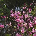 Photos: ダイセンミツバツツジ? Rhododendron lagopus