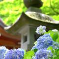 石灯籠と紫陽花
