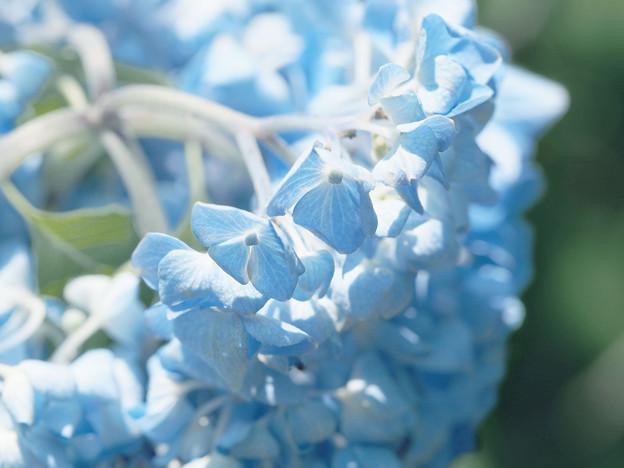 Photos: 晴れ間に咲く青
