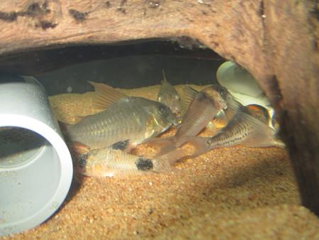 20150723 60cmコリドラス水槽のコリドラス達