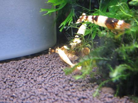 20150723 60cmエビ水槽の秘伝の餌の食い付き