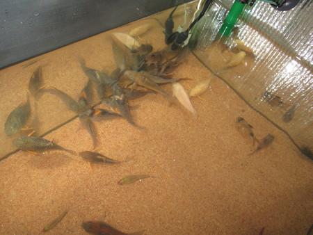20150808 60cmコリドラス水槽の掃除