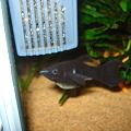 20110807 60cmコリドラス水槽のブラックモーリー