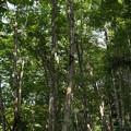 Photos: 夏のブナ林