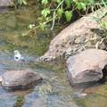 水辺で囀る小鳥