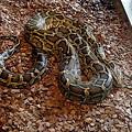 インドニシキヘビ