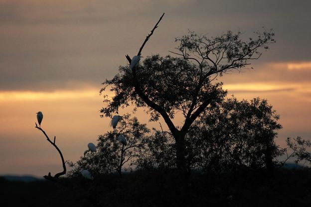 鷺たちの朝:静寂