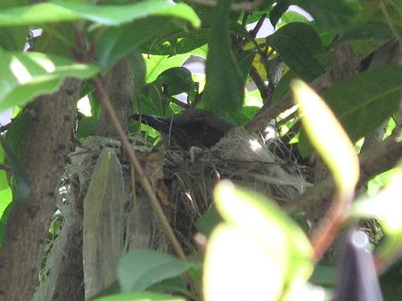 IMG_4403ヒヨドリ 抱卵中