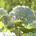 ハレルヤや紫陽花
