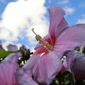 夏に咲く繊細な美...芙蓉