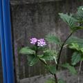 Photos: 庭に咲いていた紫陽花