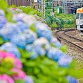 虹色あじさい電車1