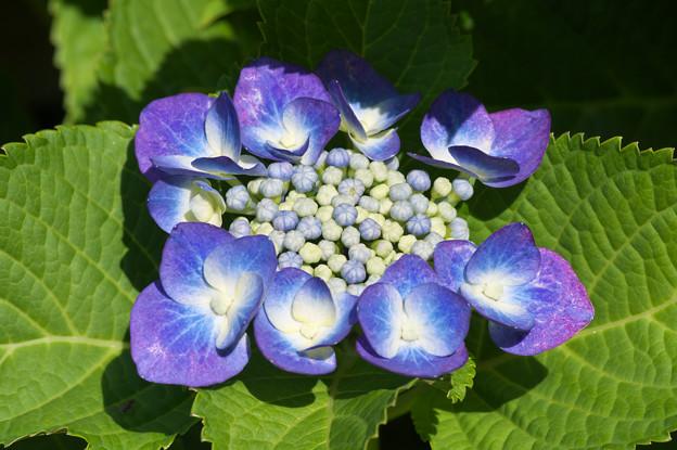 庭の紫陽花さん その1