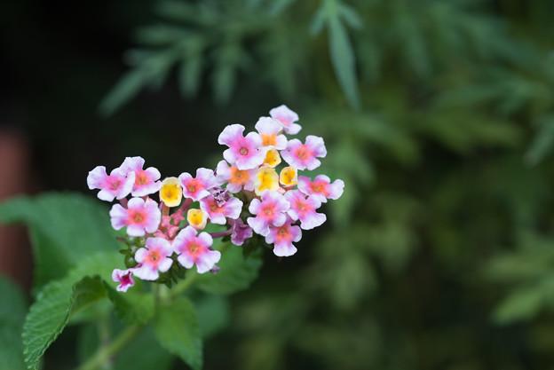 【庭のランタナ(Ai_Micro-Nikkor_55mm_f2.8S)f5.6】