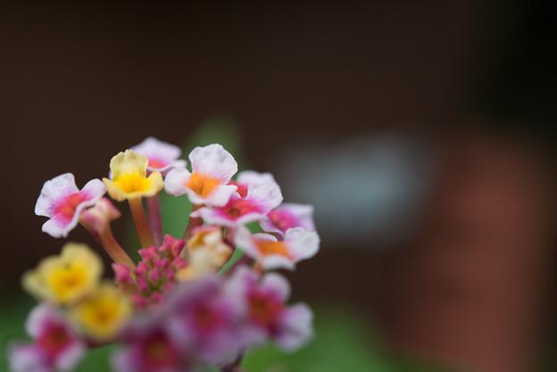 【庭のランタナ(AF-S_Micro_NIKKOR_60mm)f5.6】