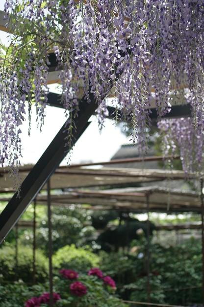 IMG_5231金剛寺・ぼたん園・九尺藤と牡丹