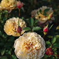 Photos: 神代植物公園 バラ