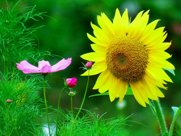 2015富士山麓・夏178「野鳥の森公園・向日葵&秋桜」