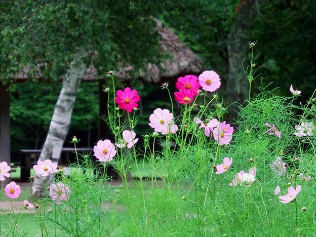 2015富士山麓・夏176「野鳥の森公園・秋桜」