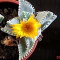Photos: 6/21ミニ多肉に花が