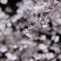 Photos: さくら1
