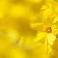 写真: 春の黄色