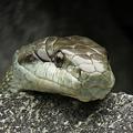 写真: IMG_1133シマヘビ