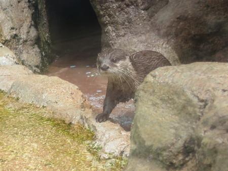 上越市立水族博物館 カワウソランド