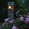 Photos: 薔薇と灯