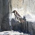 ペンギンのジャンプシーン(その2)