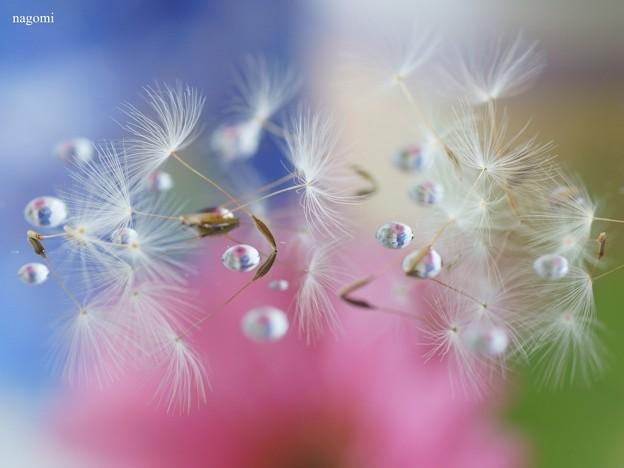 Cotton wool of the dandelion