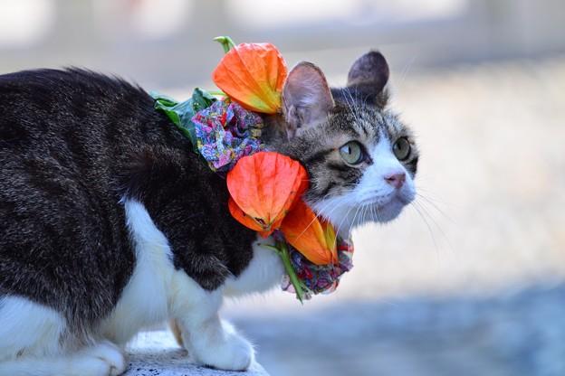 ほおずき猫
