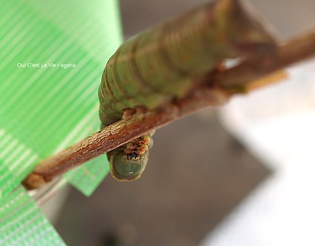 蛹化前のガガさま(オオスカシバ幼虫)何か困ってる?