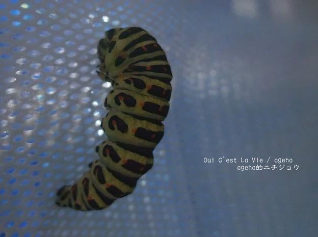 前蛹から蛹への脱皮。(キアゲハ飼育)