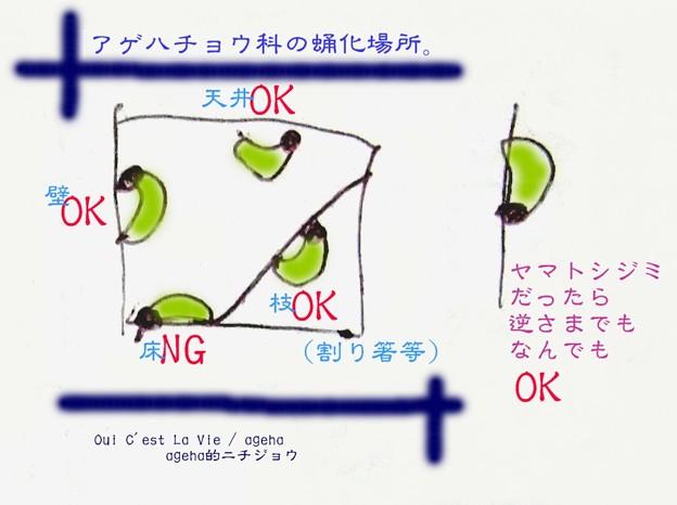 Photos: アゲハ類の蛹化角度。(キアゲハ飼育)