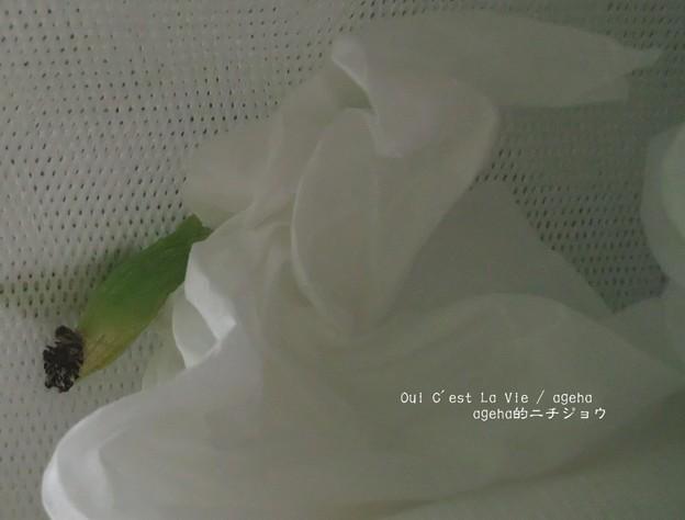 無事蛹へ。(糸の切れたキアゲハ飼育)