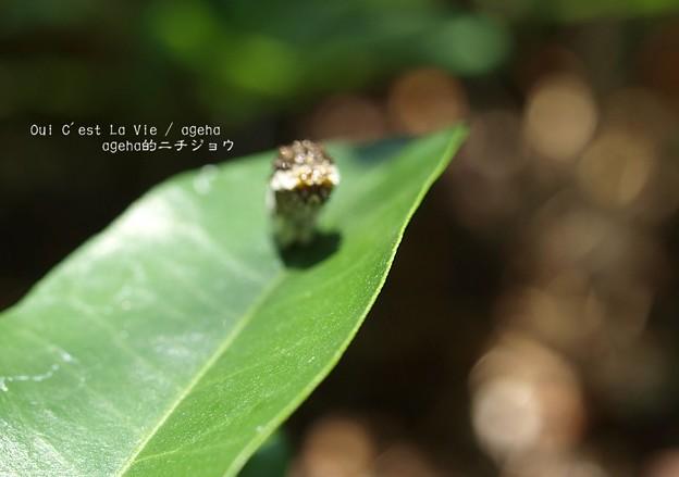 けど(ナミアゲハ幼虫)