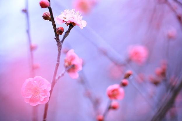 桃色のほてり